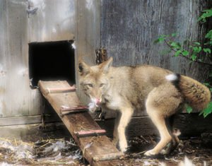 The 111 East Chestnut Condominium Insider 'Land Rush Over' Board Announces; Another Lawsuit Queues Up; Foxes Mum